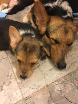 Pembroke Welsh Corgi Puppy For Sale In Bemidji Mn Adn 23943 On Puppyfinder Pembroke Welsh Corgi Corgi Puppies For Sale Pembroke Welsh Corgi Puppies