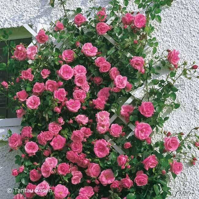 kletterrose 39 lawinia 39 rosa 39 lawinia 39 konzept terrasse interlaken rosen kletterrosen und. Black Bedroom Furniture Sets. Home Design Ideas