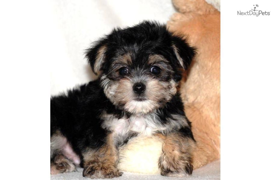Affenpinscher Puppies For Sale Teacup Michael Morkie Www
