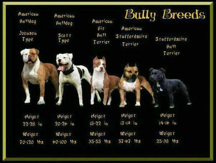 English Bulldog Bully Breeds Chart Bully Breeds Bully Dog American Pitbull Terrier