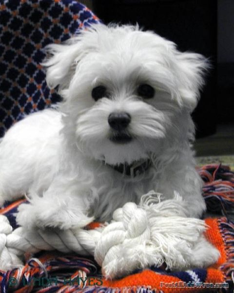 Teacup Maltese male and female Maltese puppies - free Classified Ad