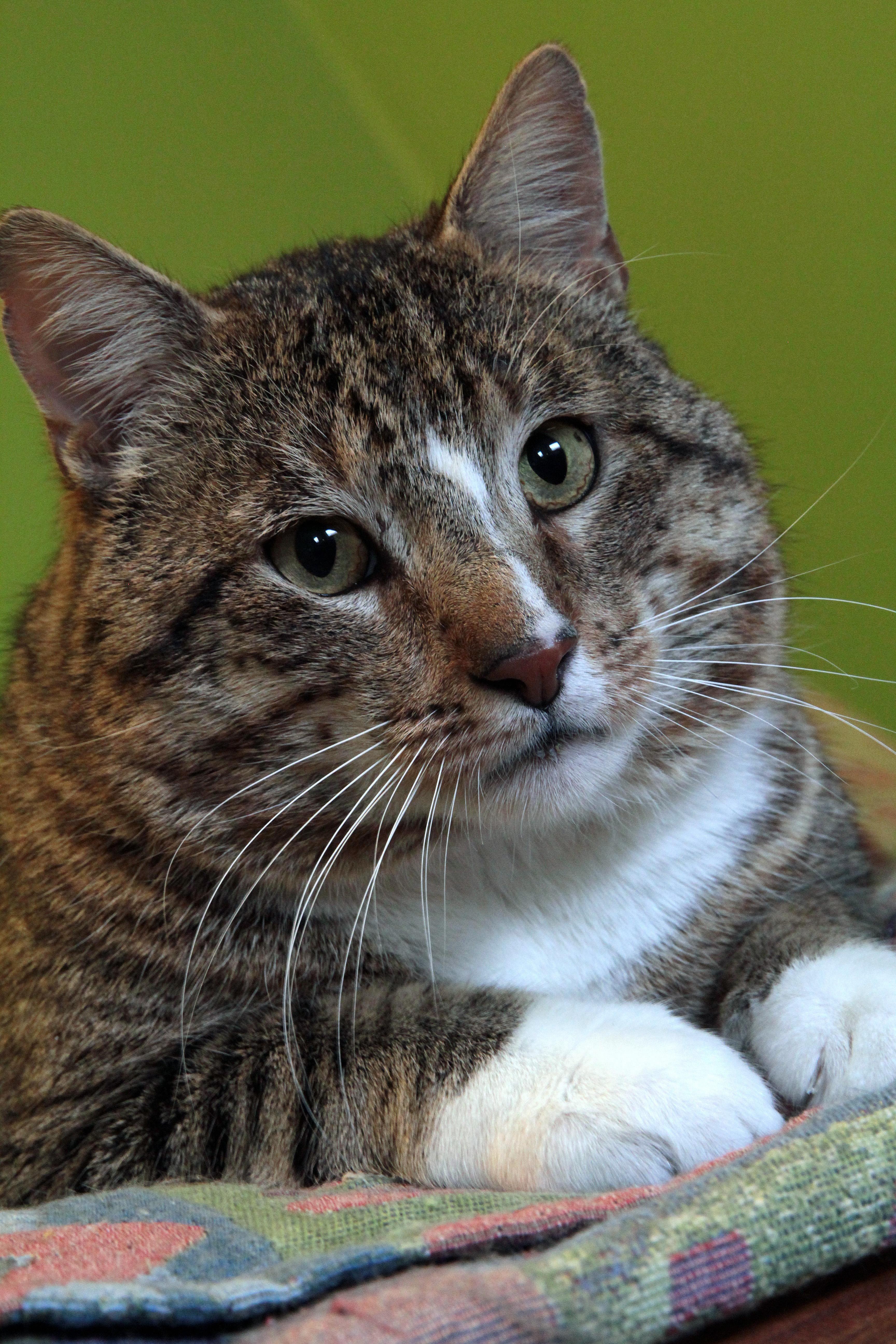 Adopt Noah on (With images) Cat adoption, Pets, Pet adoption