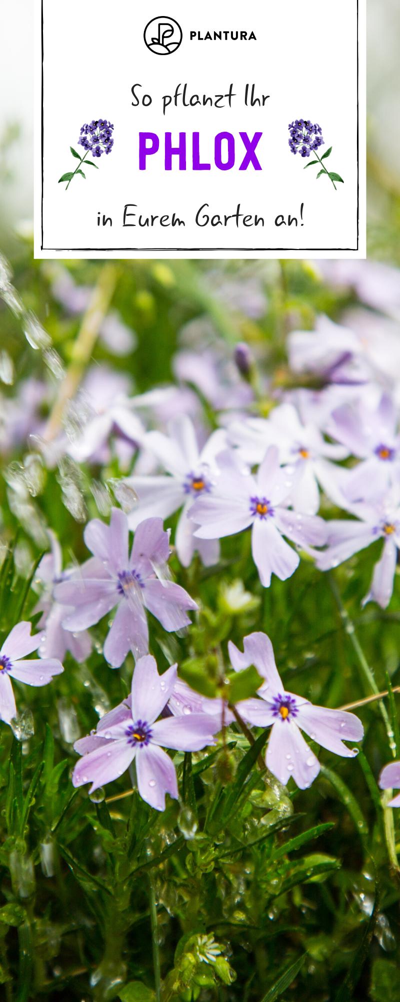 Phlox Experten Tipps Zum Pflanzen Pflegen Vermehren Plantura Pflanzen Phlox Pflanze Rosen Pflegen