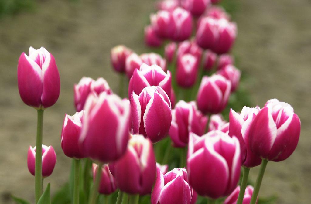Hasil Gambar Untuk Bunga Tulip Gambar Bunga Bunga Tulip Bunga