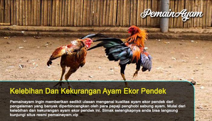 Kelemahan Dan Kelebihan Ayam Ekor Pendek Ayam Kacang Arab Kacang