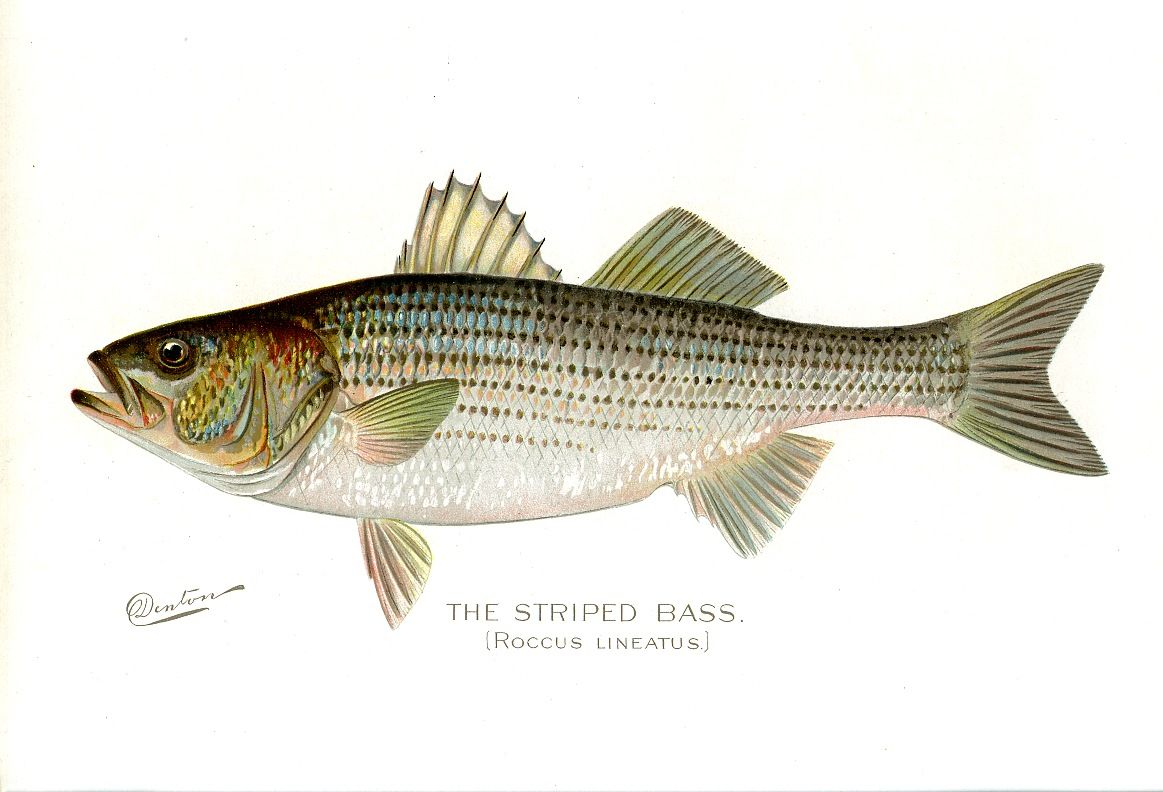 Bass fish drawing striped bass animals pinterest for Fishing for striped bass