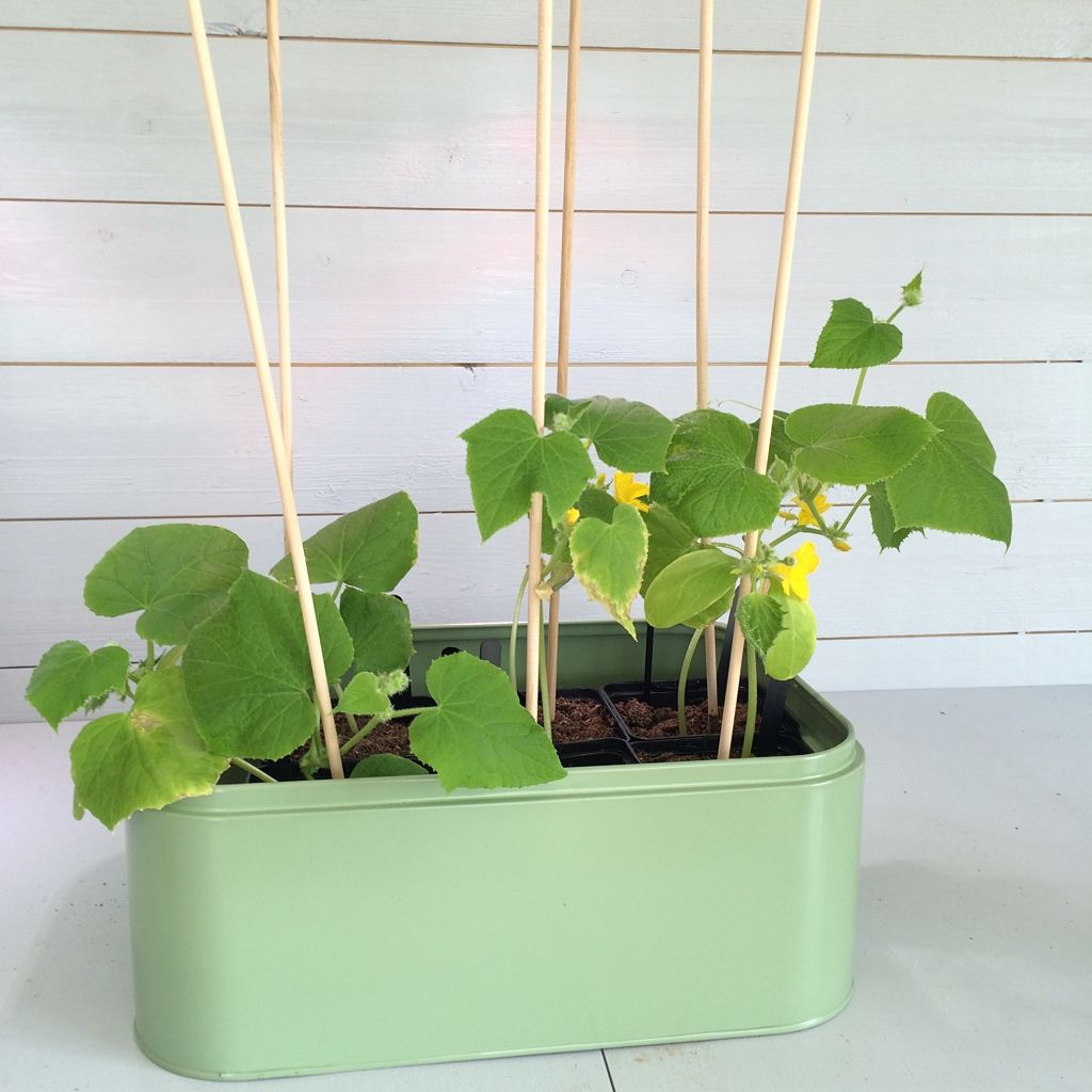 Growing Cucumbers In Containers Growing Cucumbers Cucumber Plant Growing Fruit