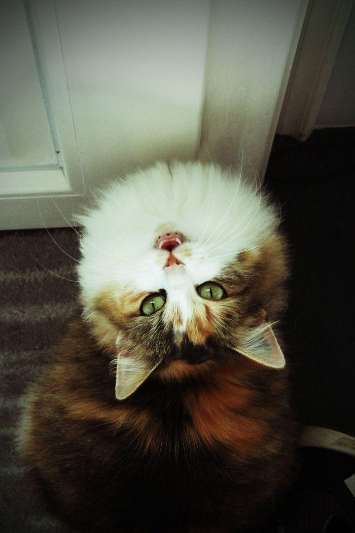 Cat European Yumi On Www Yummypets Com Norvegien J Aime Les Chats Chat Europeen