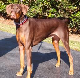 Lucas is an adoptable Doberman Pinscher Dog in Arlington, VA. Our handsome natural eared, red/rust boy is 15 months old, 90 lbs big, and need we say he is strong and energetic.   Luke requires an expe...