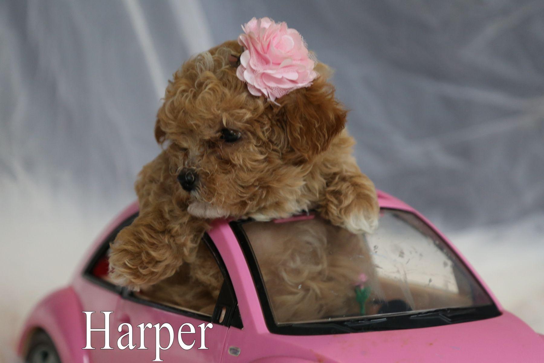 Harper Female Malti Poo Dog From Ewing Illinois Find Cute