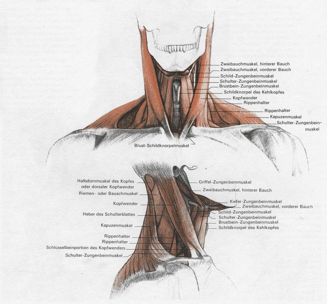 G. Bammes | Anatomy | Pinterest | Anatomy, Gross anatomy and Draw