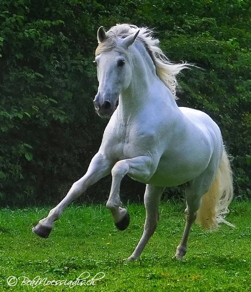beauty in motion. white horse running. | beautiful horses, oh my