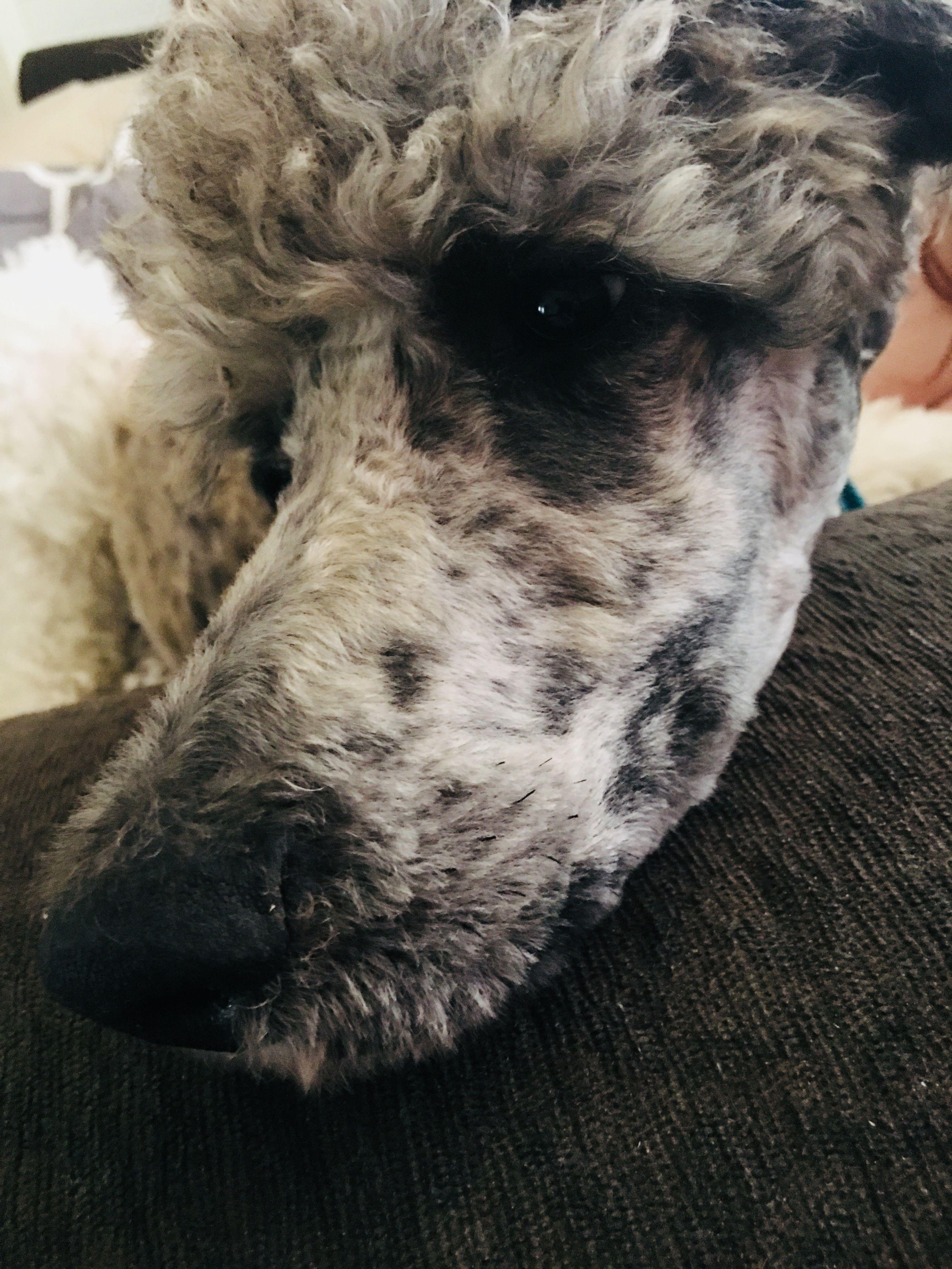 Poodle Nose Copperheadpuppies Dog Poodle Merle Standardpoodle