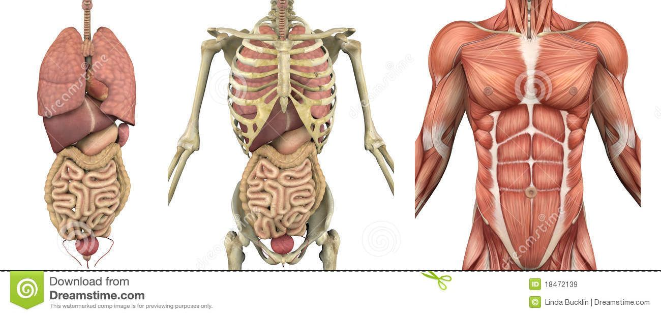 Anatomical Overlays - Male Torso With Organs - Download From Over 52 ...