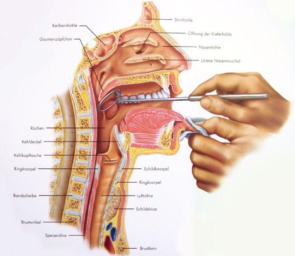 Kehlkopf anatomisch | Stimme und Wirkung | Pinterest | Anatomy