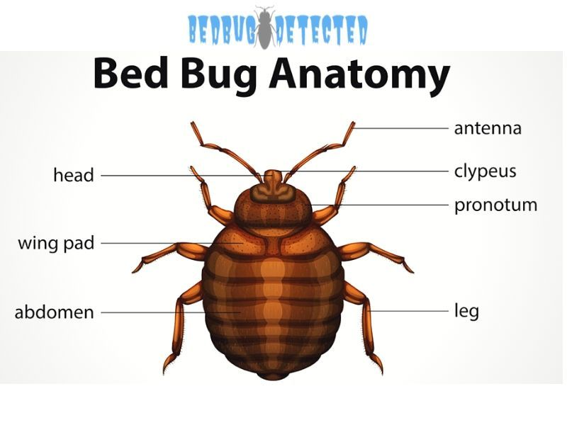 Do Bed Bugs Fly Bed Bugs Bed Bugs Treatment Kill Bed Bugs