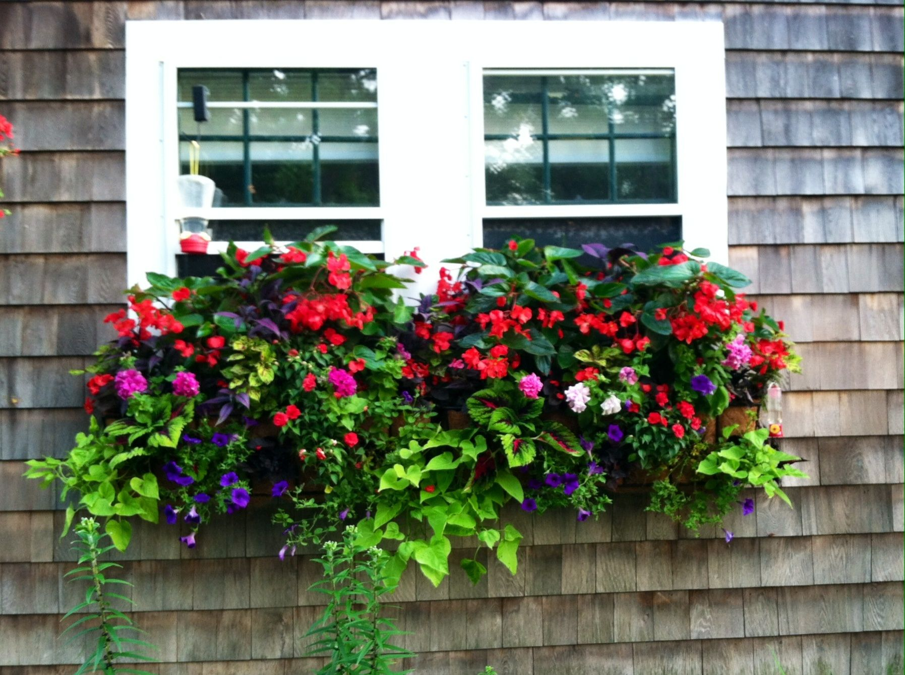 Beautiful window box Dragon wing begonias Persian shield lime