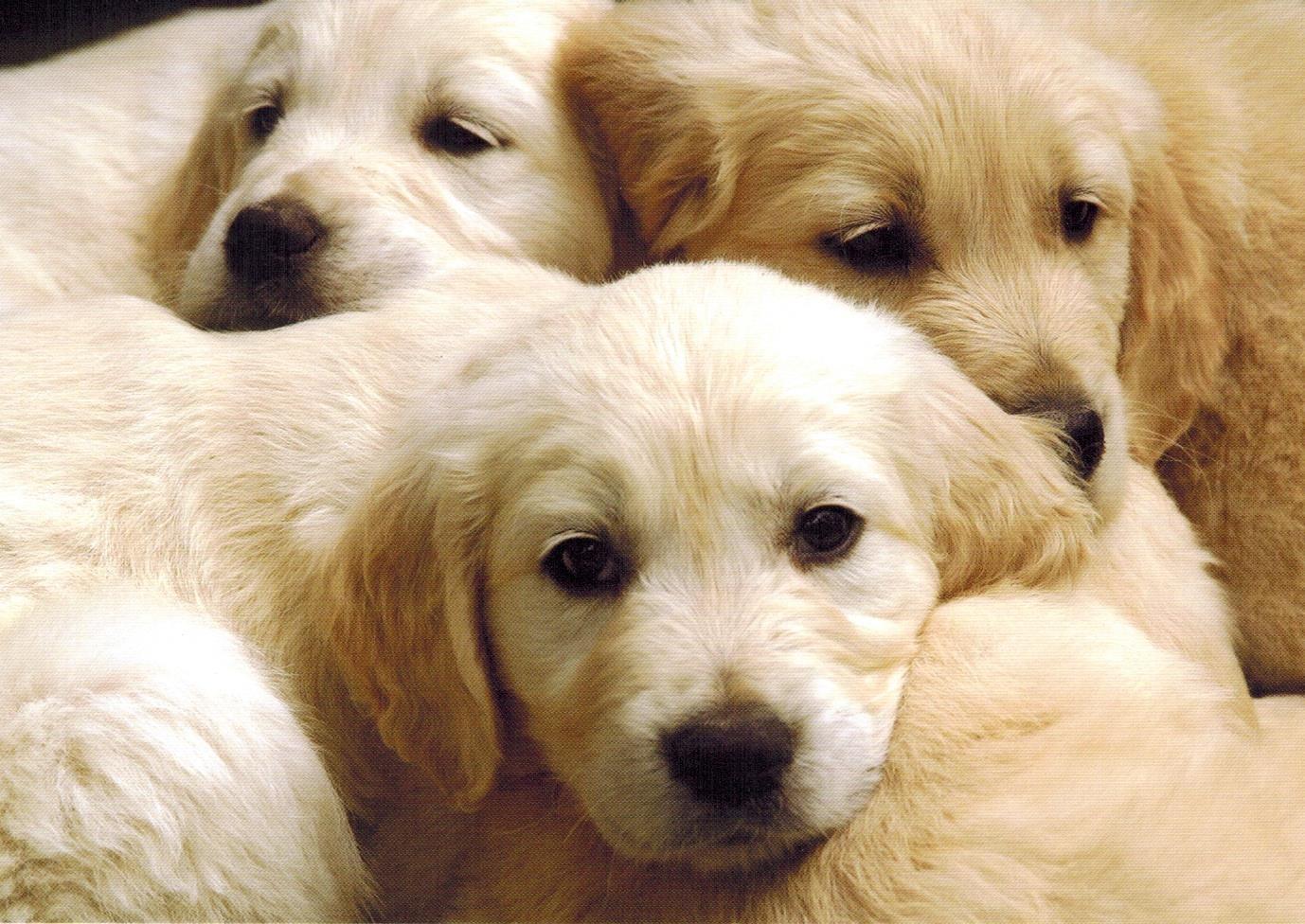 Three Blonde Puppies Dog Breeds Medium Pet Store Puppies Cute Dogs
