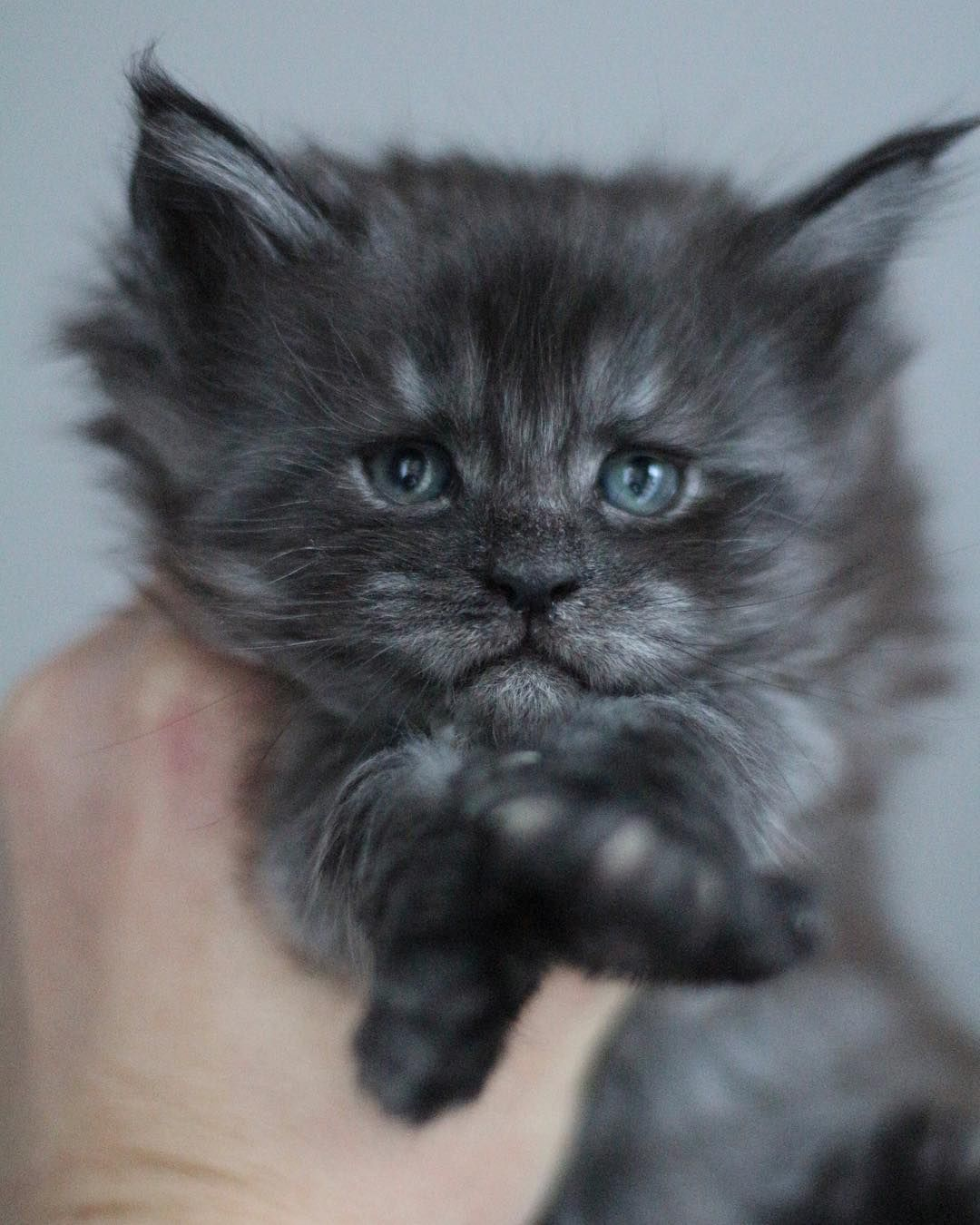 Baby Boy Oslo Is Maybe A Baby Girl 1 Month Blacksmoke Mainecoon Mainecoonkitten Blueeyedcat Kitte Beautiful Cats Beautiful Kittens Cat With Blue Eyes