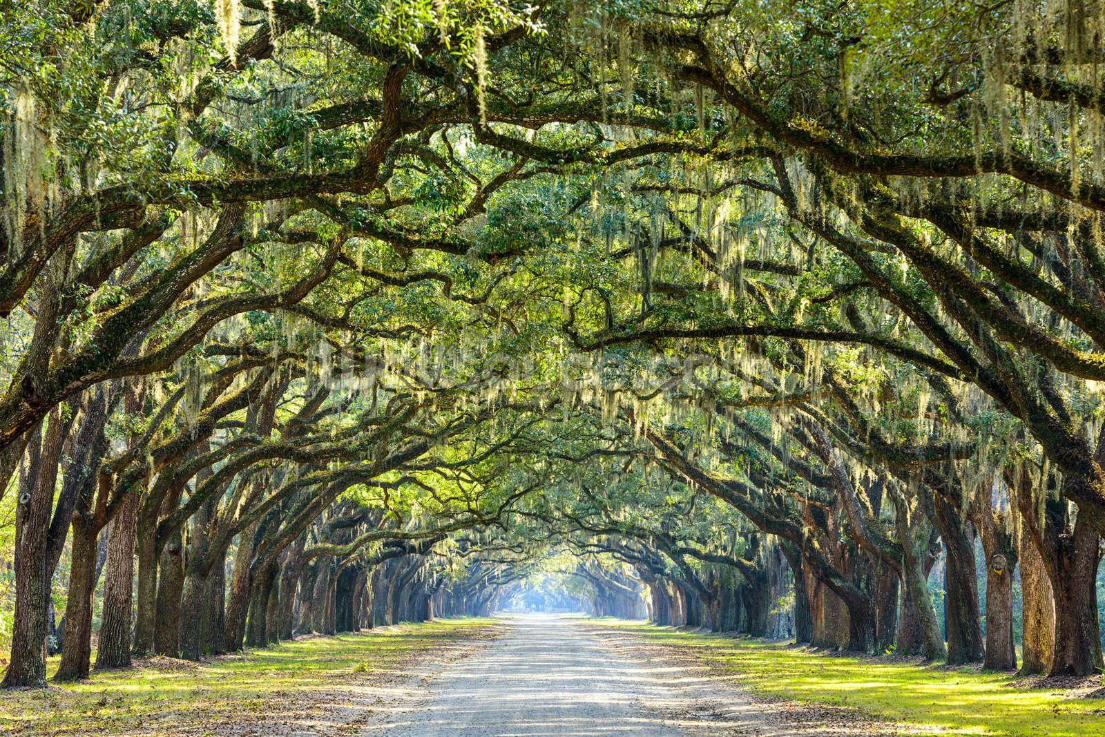 Oak Tree Road Savannah, Savannah chat, Old trees
