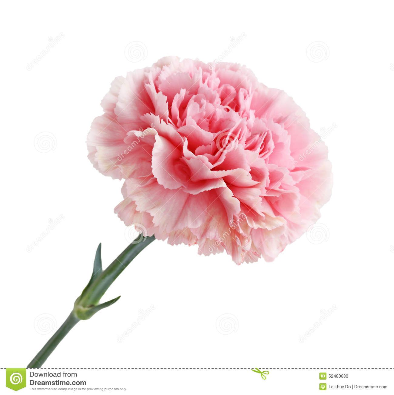 Pink Carnation Pink Carnation Flower Head Isolated On White