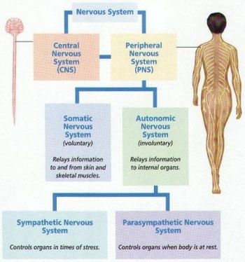 Sympathetic nervous system and stress diagram of the breakdown of sympathetic nervous system and stress diagram of the breakdown of the peripheral nervous system ccuart Image collections