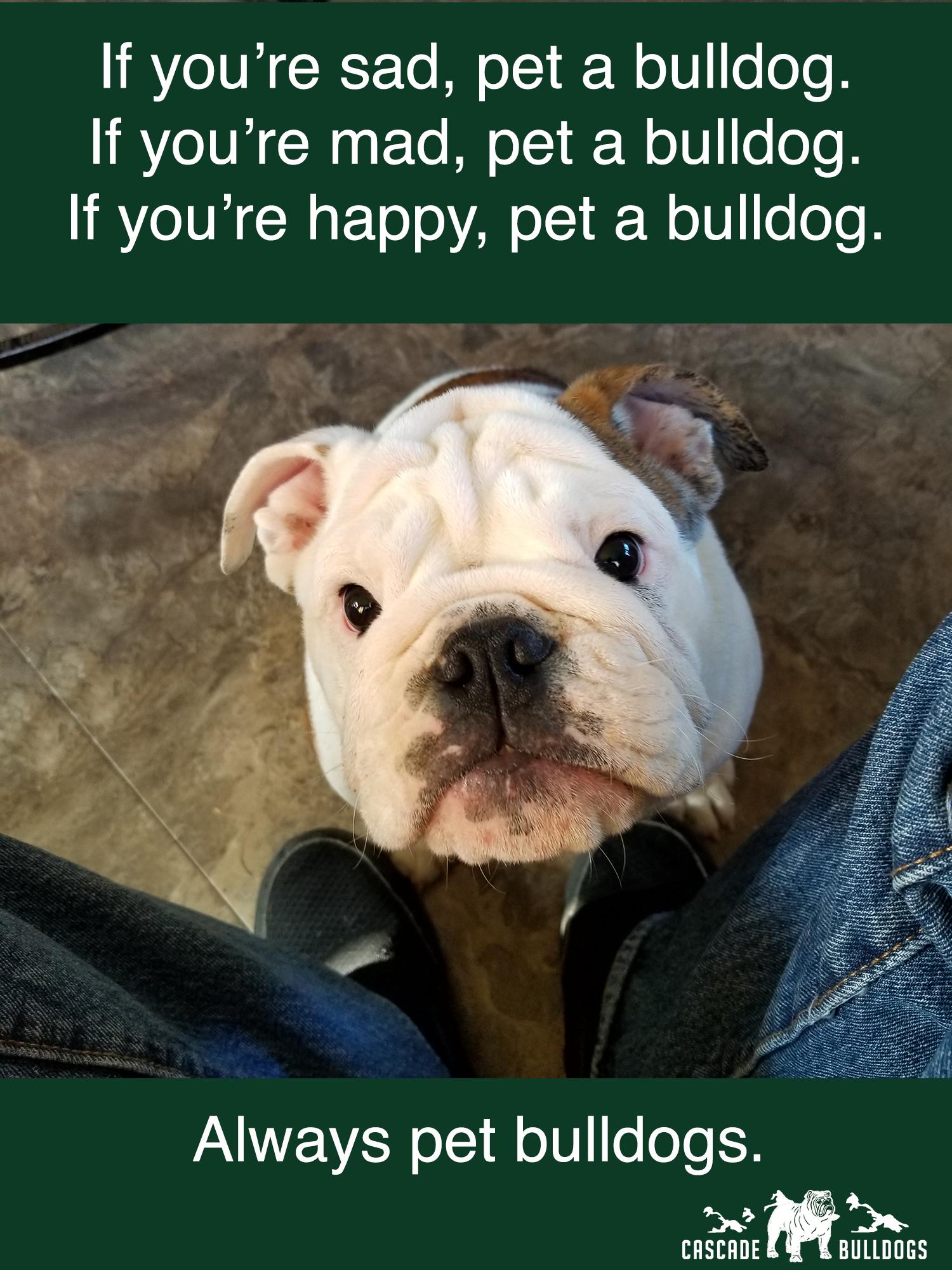 Always Pet Bulldogs Http Cascadebulldogs Com Bulldog Funny Animals Funny Dog Memes