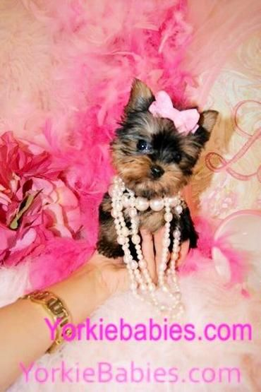 Teacup Yorkie In Pearls Soooooooooo Cute Teacup Yorkie Yorkie Yorkie Puppy