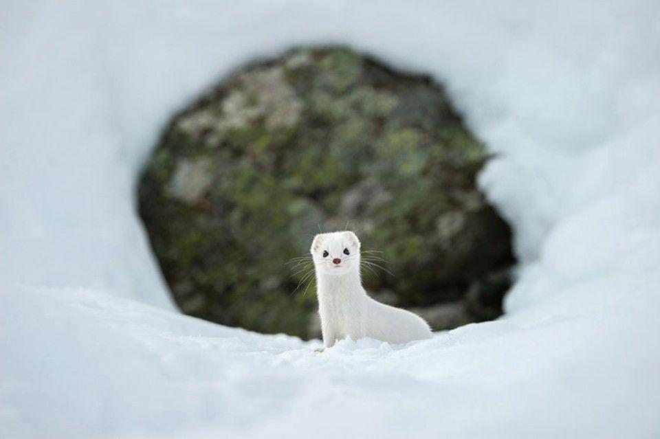 Un hiver blanc, au Parc National du Gran Paradiso, Italie