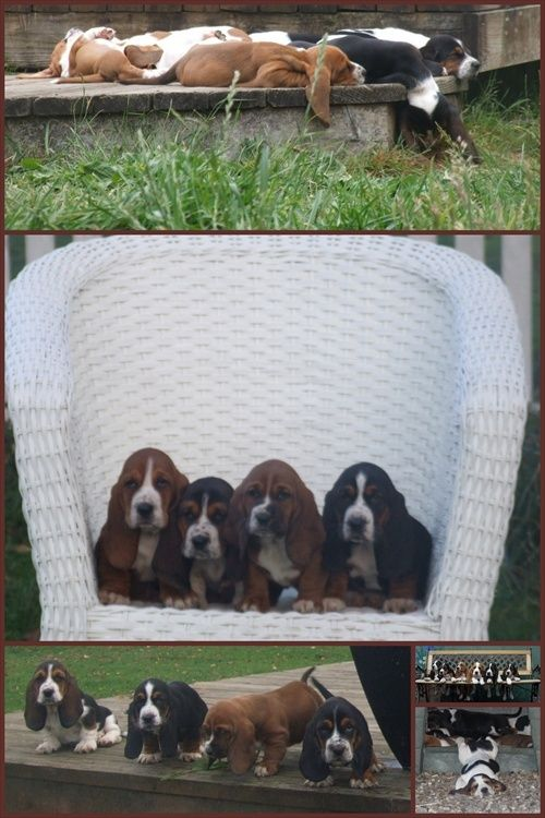 Rainy Day Bassets Akc Family Raised Basset Hounds American And