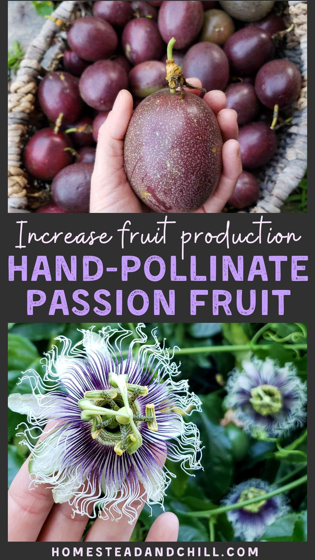 How to Hand Pollinate Passion Fruit Flowers Passion