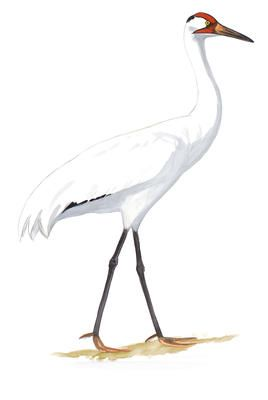 Great Egret Audubon Field Guide >> In New Plan Baby Whooping Cranes To Be Led By Parents Not Planes