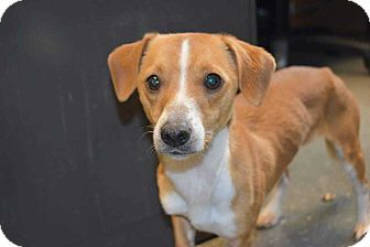 Woodstock Ga Dachshund Beagle Mix Meet Jack A Dog For