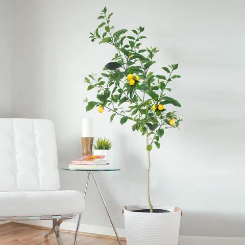 Meyer Lemon Tree In 2020 Meyer Lemon Tree Fast Growing Trees Citrus Trees