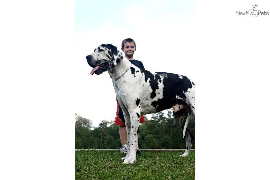 Great Dane Puppy For Sale Great Dane For Sale D45eedbd Fb81 Great Dane Really Big Dogs Great Dane Puppy