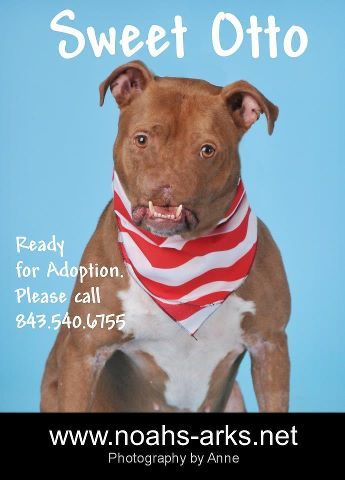 Noah's Ark Rescue - Victim of dogfighting in South Carolina loses his nose but finds his courage