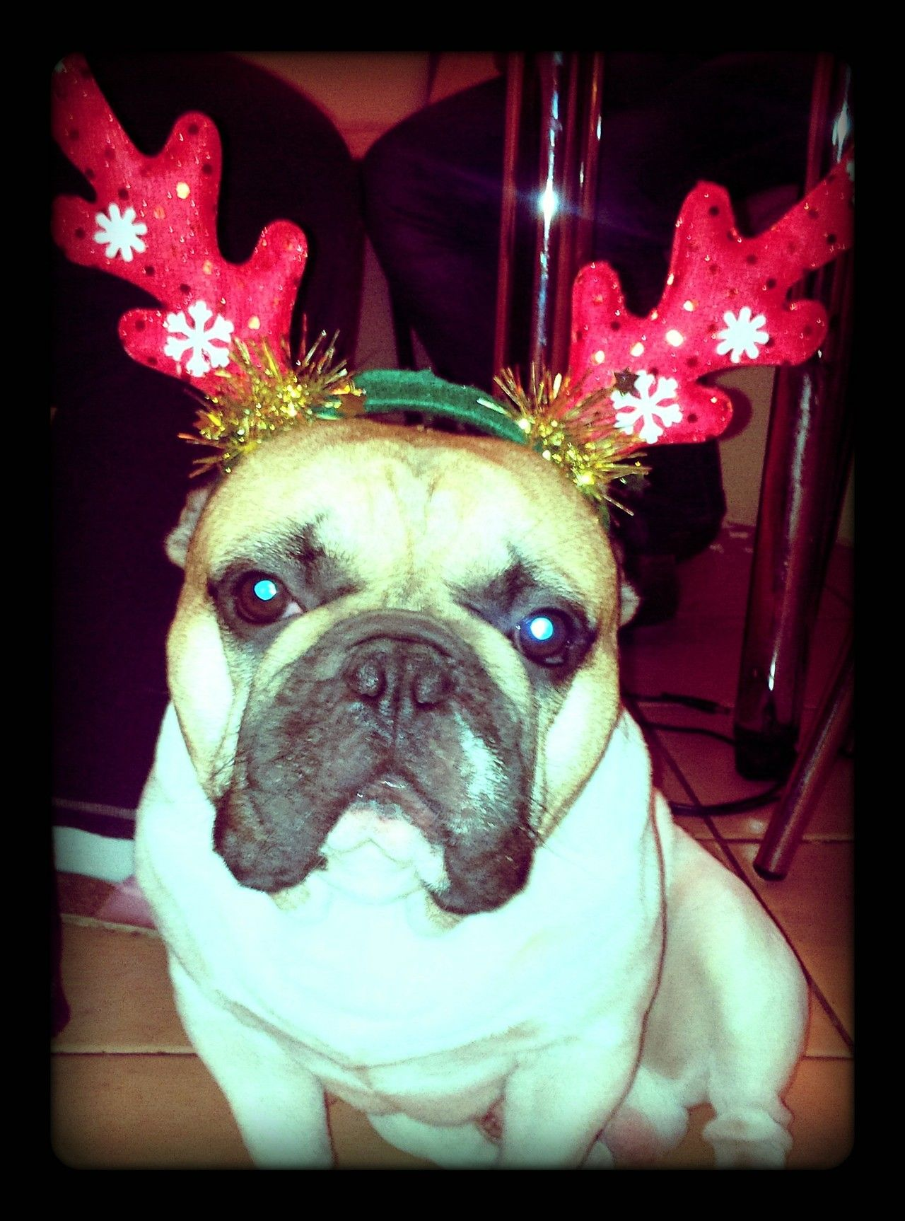 Tumblr Frenchie, Red nose, Bullying