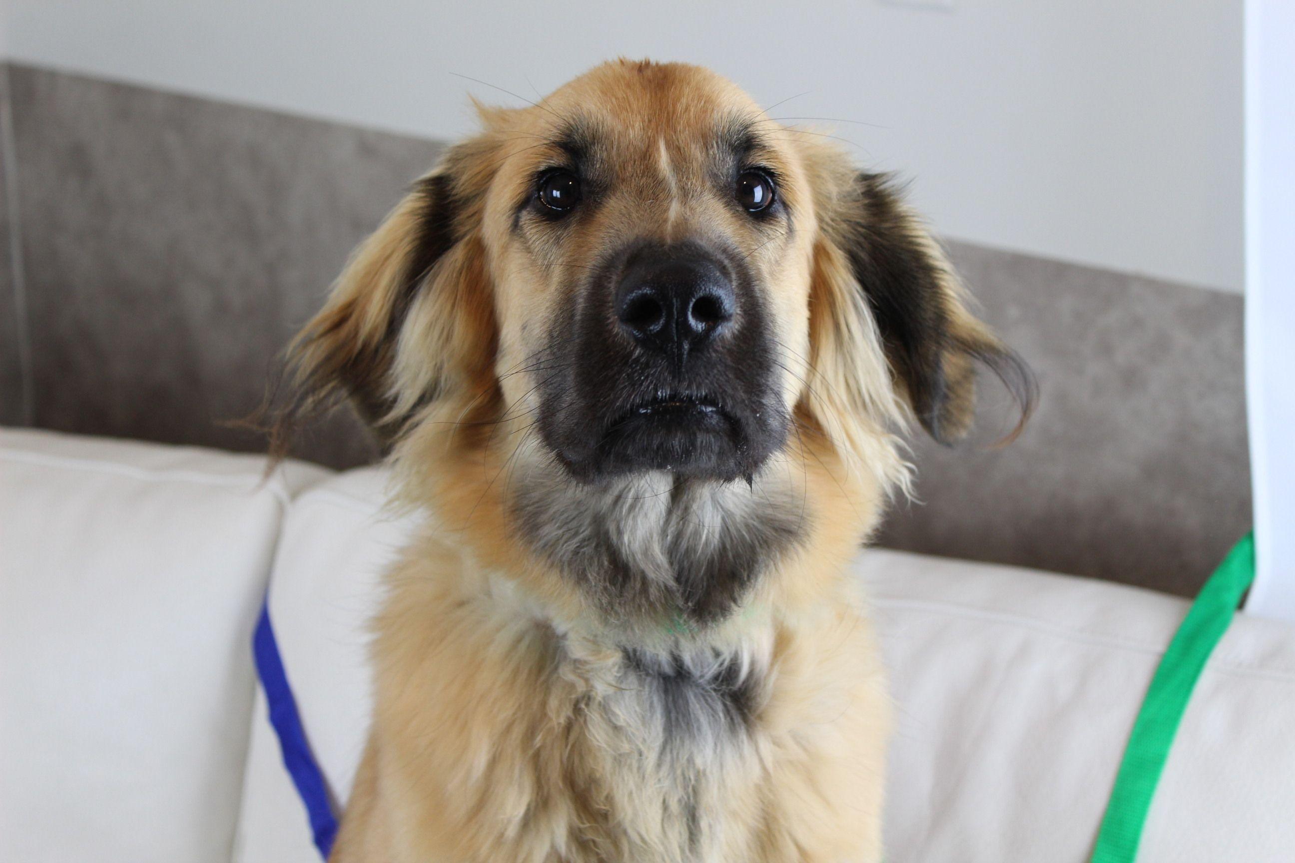 Adopt Arlo On In 2020 Dog Adoption Retriever Mix Dogs