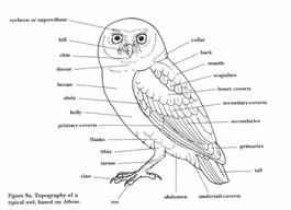 owl body parts figure 2 burrowing owl diagram great for kids Great Gray Owl owl body parts figure 2 burrowing owl diagram