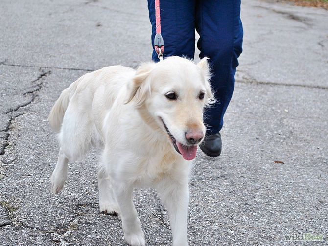 Train An Older Dog To Walk Calmly On A Leash Dog Training Dog