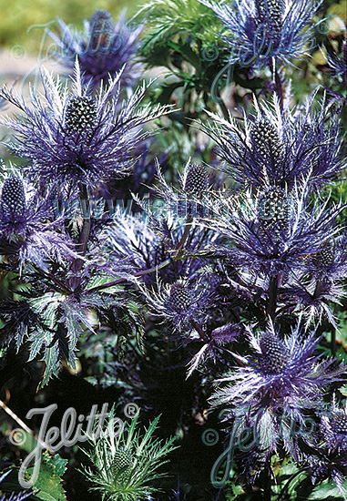 Jelitto Perennial Seed Eryngium Alpinum Blue Star Portion S