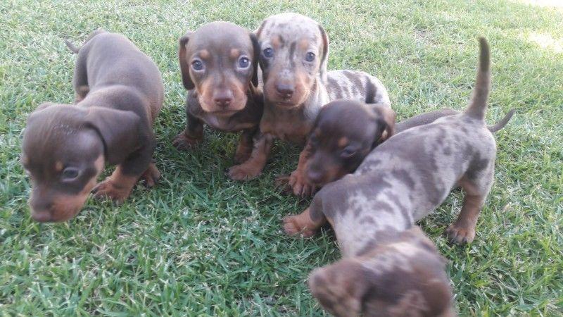 Miniature Dachshund Puppies Johannesburg South Gumtree