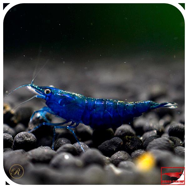 topaz blue shrimps garnele garnelen und garnelen aquarium. Black Bedroom Furniture Sets. Home Design Ideas