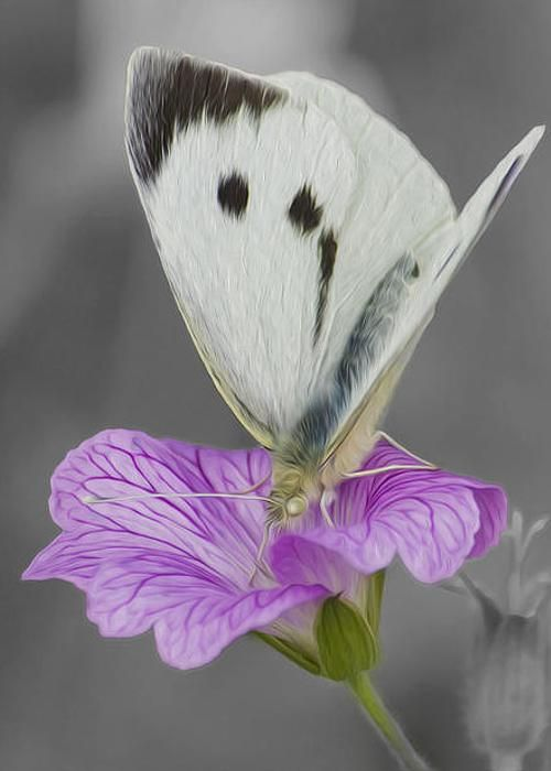 Large White Butterfly by Veli Bariskan