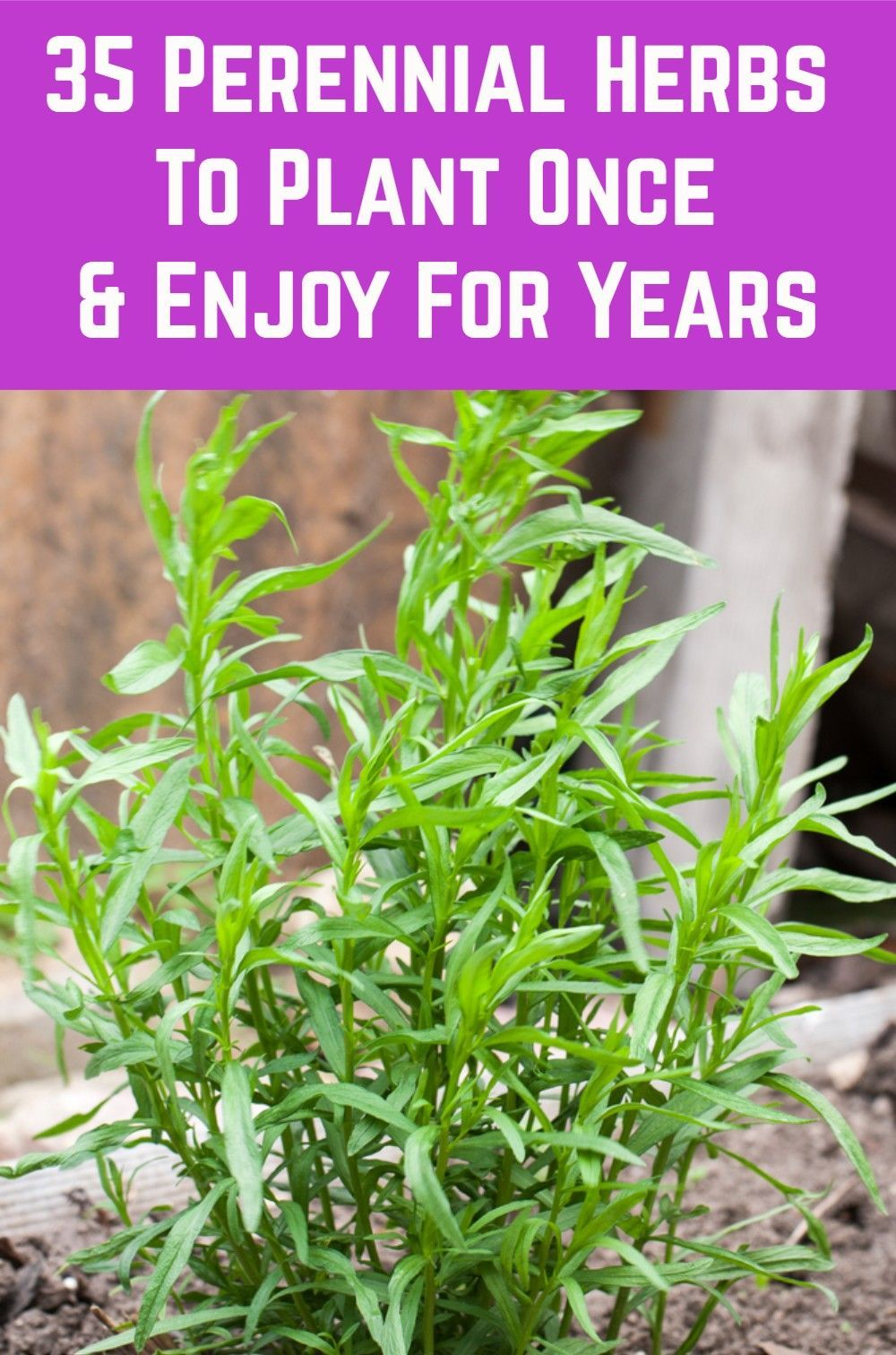 35 Perennial Herbs To Plant Once & Enjoy For Years is part of Perennial herbs, Planting herbs, Plants, Veggie garden, Herbs, Perennials - Herb gardening is a fantastic gateway into gardening for those who are new to growing their own  There are many herbs you can easily grow even if you don't have a garden at all  All you need is a sunny windowsill  But herbs are also important for established gardeners  Incorporating a range of perennial herbs   Read On →
