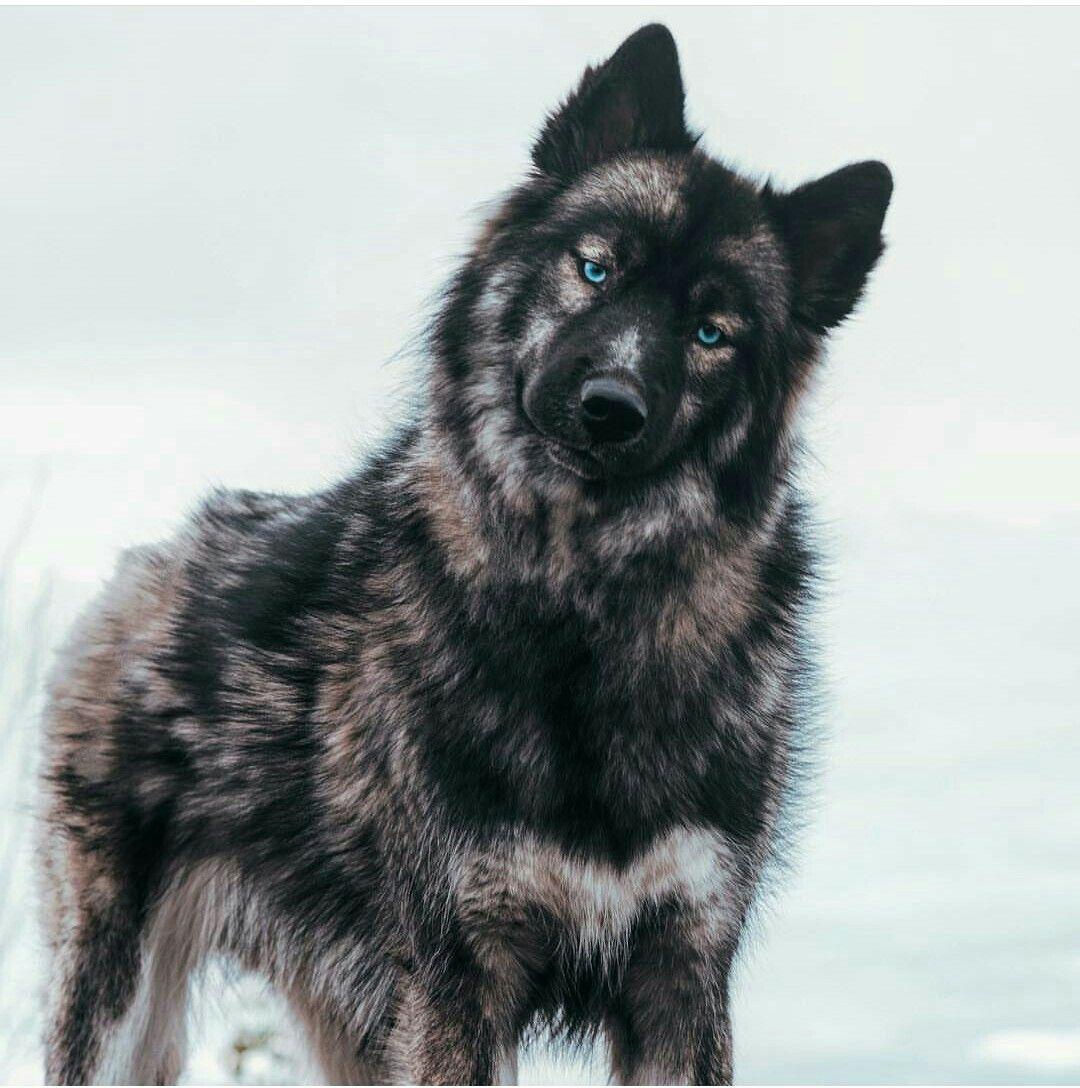 Siberian Husky Siberian Husky Puppies Dogs Pretty Dogs