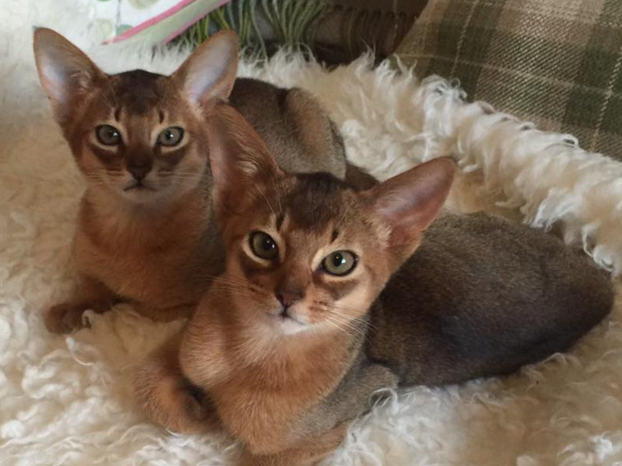 Pin by Sybil Whitworth on Abyssinian cats | Pinterest | Abyssinian ...