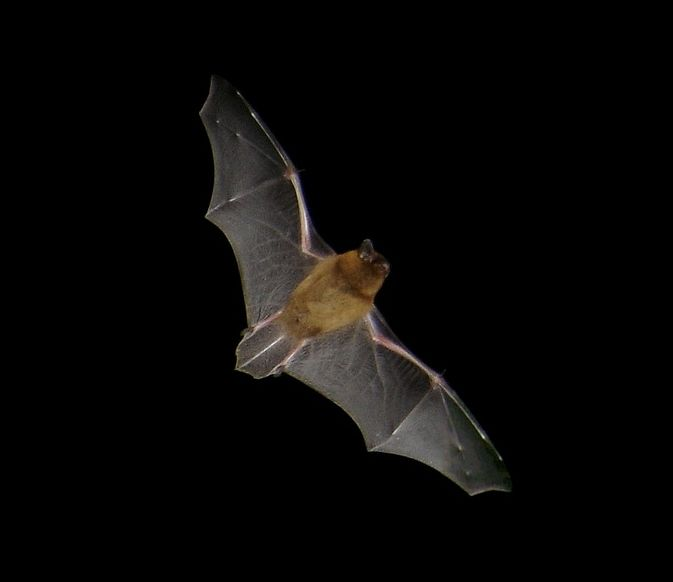 To Encourage Bats Into Your Garden Like This Handsome Little Common Pipistrelle Bat Dig A Pond And Grow Plants That Are Good For Insects Homesfornature