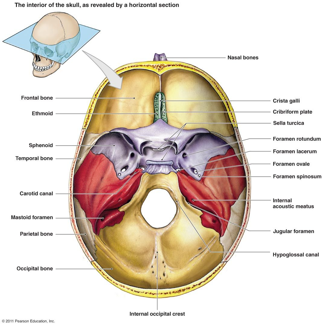 Blank Sheet Of The Skull Bone Interior View The Skeletal System ...