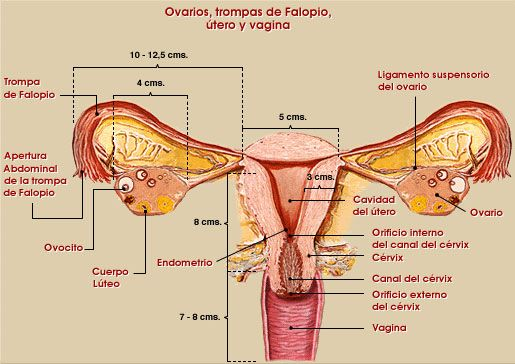 anatomia y fisiologia delos organos partes pudendas masculinos